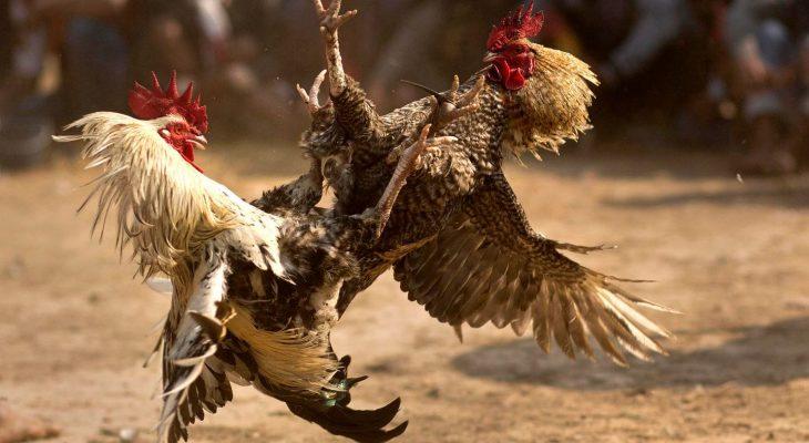 Perpindahan Ritual Adat Menjadi Judi Sabung Ayam Online