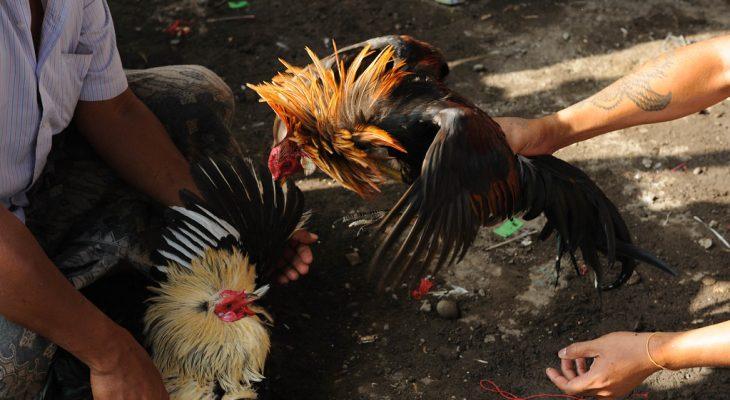 Cara Bermain Judi Sabung Ayam Online